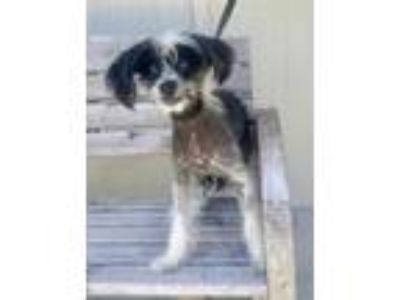Adopt Layla a Chinese Crested Dog