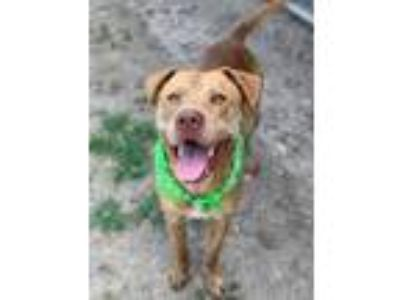 Adopt Red a Red/Golden/Orange/Chestnut Labrador Retriever / American Pit Bull