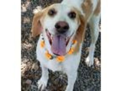 Adopt Miss Daisy a Tan/Yellow/Fawn - with White Hound (Unknown Type) / Mixed dog
