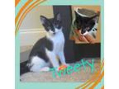 Adopt Tweety a Domestic Short Hair