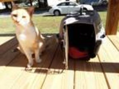Adopt Nala a Orange or Red (Mostly) Domestic Shorthair / Mixed cat in Cambria
