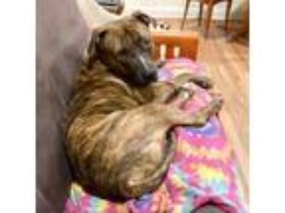 Adopt Bastian a Pit Bull Terrier / Mixed dog in Austin, TX (25284748)