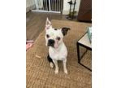 Adopt JD a Black - with White Boston Terrier / Mixed dog in The Woodlands