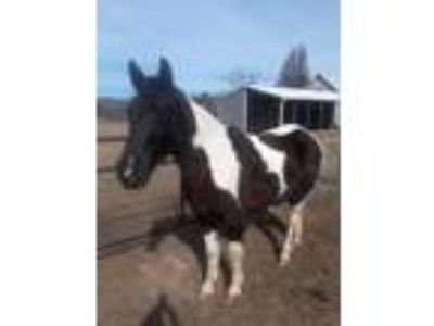Gaited Trail Horse