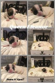 French Bulldog PUPPY FOR SALE ADN-90719 - Champion Sired French Bulldogs AKC Registered