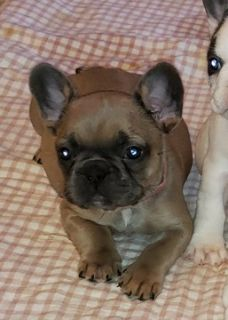 French Bulldog PUPPY FOR SALE ADN-106925 - French Bulldog Puppies