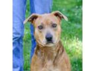 Adopt Lola a Hound, Pit Bull Terrier