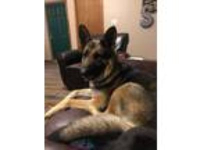 Adopt K mpfer a Tan/Yellow/Fawn - with Black German Shepherd Dog / Mixed dog in