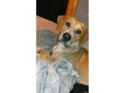 Adopt JAKE a Yellow Labrador Retriever, Hound