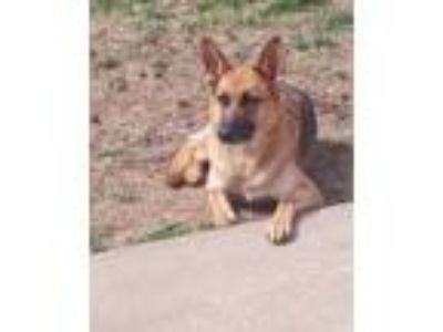 Adopt Lilly a Brown/Chocolate - with Tan German Shepherd Dog dog in Beebe