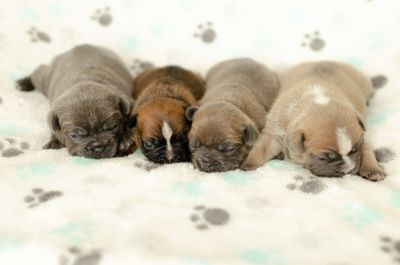 French Bulldog PUPPY FOR SALE ADN-101545 - Stunning French Bulldog Puppies