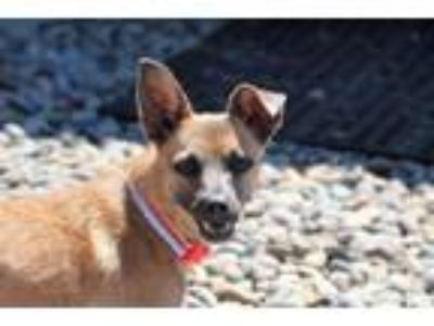 Adopt Corvette a Terrier (Unknown Type, Medium) / Mixed dog in Washougal