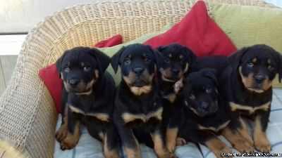 Massive Rottweiler Puppies