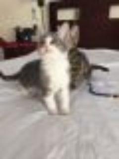 Versailles Domestic Short Hair - American Shorthair Cat