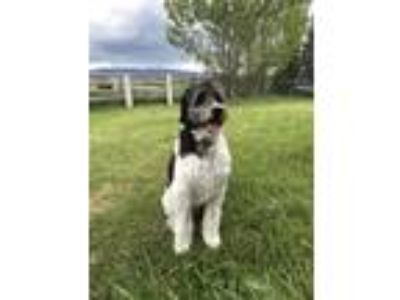 Adopt Gus a Black - with White Poodle (Standard) / Border Collie / Mixed dog in