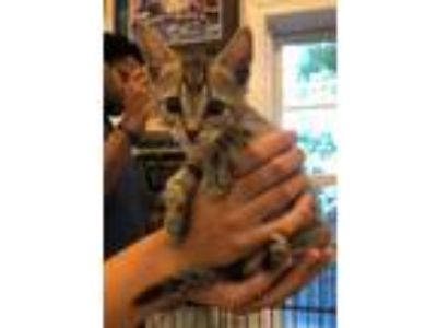 Adopt KITTEN: Fireball a Domestic Short Hair