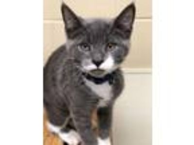 Adopt Rocky - kitten! a Domestic Short Hair