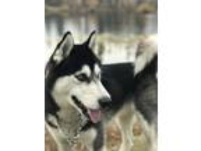 Adopt Jace a Black - with White Husky / Mixed dog in Tacoma, WA (25030575)