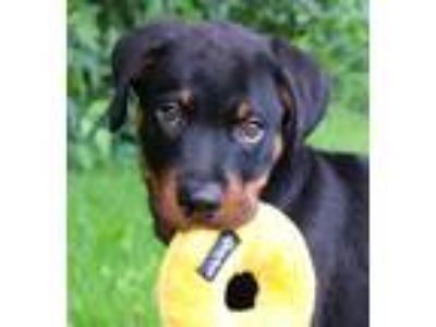 Adopt Whiskey a Rottweiler