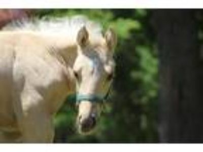 Palomino Yearling Quarter Horse Gelding
