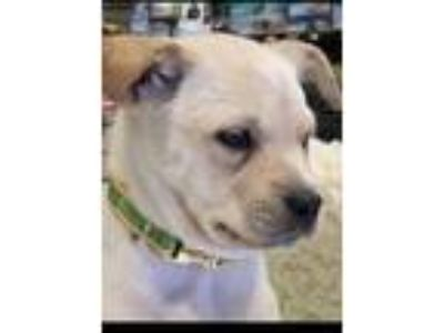 Adopt Wally a Labrador Retriever, Mixed Breed