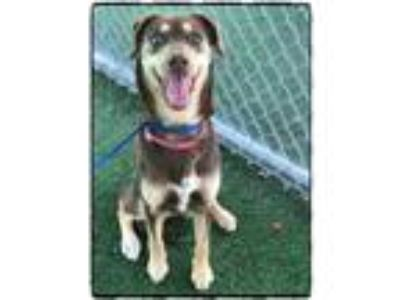 Adopt CHEYENNE a Brown/Chocolate - with Tan Siberian Husky / Mixed dog in