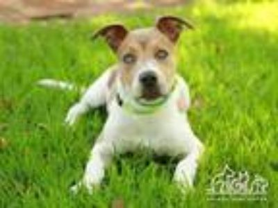 Adopt WILL a Pit Bull Terrier