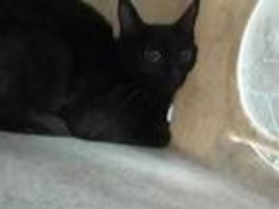 Adopt MINX a All Black Domestic Shorthair / Mixed (short coat) cat in Memphis