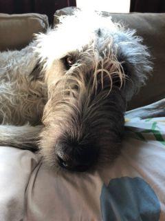 Irish Wolfhound PUPPY FOR SALE ADN-91774 - Irish Wolfhound Puppies
