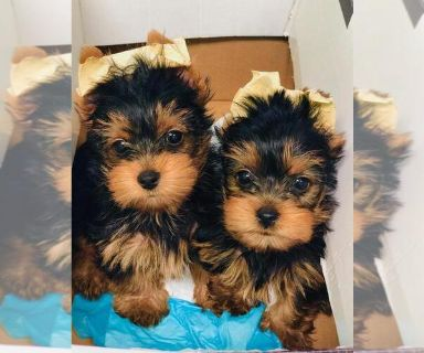 Yorkshire Terrier PUPPY FOR SALE ADN-130650 - male yorkie for sale