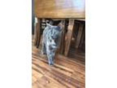 Adopt Rogue a Tortoiseshell Domestic Shorthair / Mixed (short coat) cat in
