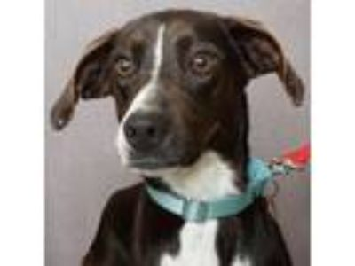 Adopt Moses - ADOPTION PENDING a Hound, Whippet