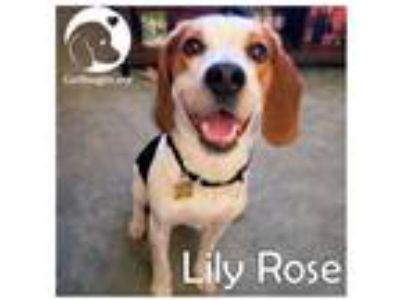 Adopt Lily Rose a Tricolor (Tan/Brown & Black & White) Beagle / Mixed dog in