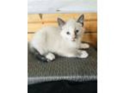 Adopt Possum a Cream or Ivory (Mostly) Domestic Shorthair cat in Carterville