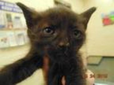 Adopt CHRISTINE a All Black Domestic Shorthair / Mixed (short coat) cat in