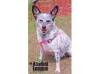 Adopt Peppermint Patty a White - with Black Australian Cattle Dog / Corgi /