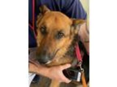 Adopt Roxie a Black German Shepherd Dog / Mixed dog in West Memphis
