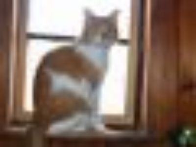 Ralph Asadi Domestic Short Hair - Tabby Cat