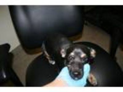 Adopt A519784 a Rat Terrier, Mixed Breed