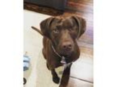 Adopt Socket Oden a Brown/Chocolate Labrador Retriever / Mixed dog in Boston