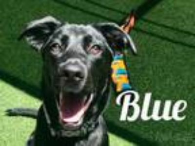 Adopt Blue a Black Retriever (Unknown Type) / Mixed dog in Lewisville