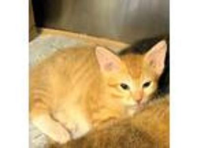 Adopt Kai & Kele a Orange or Red (Mostly) Domestic Shorthair (short coat) cat in