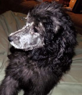 Poodle (Standard) PUPPY FOR SALE ADN-63307 - Silver Poodle Puppy AKC