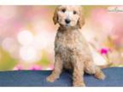 Look at the locks on this Goldendoodle! 1813L