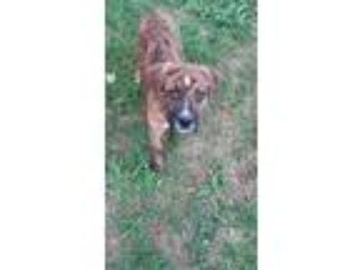 Adopt Hatch a Brindle - with White Boxer / Hound (Unknown Type) / Mixed dog in