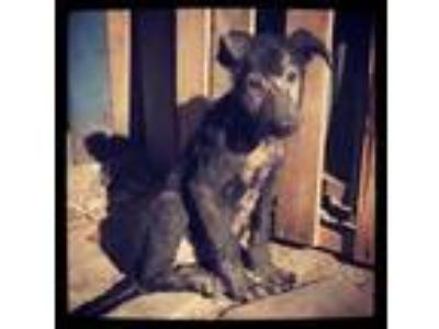 Adopt Cricket a German Shepherd Dog