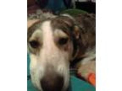 Adopt Luna a Brown/Chocolate - with White Husky / Mixed dog in Everitt