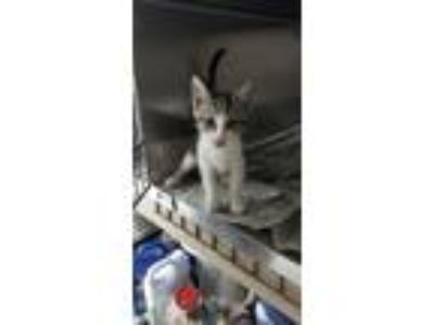 Adopt 1 kitten - GENDER UNKNOWN a Tabby