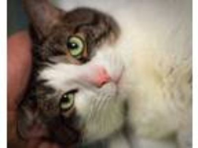 Adopt Speedy a White Domestic Shorthair / Domestic Shorthair / Mixed cat in