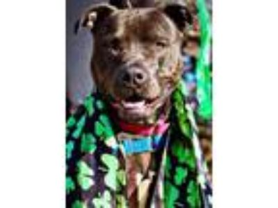 Adopt Paws Savannah a Pit Bull Terrier